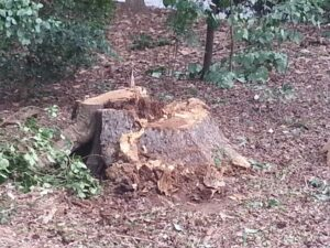 Rotten-stump